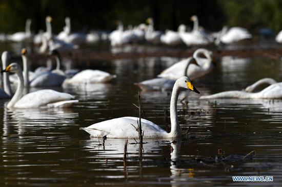 Migratory wild swans come to wetland to spend winter in Shanxi