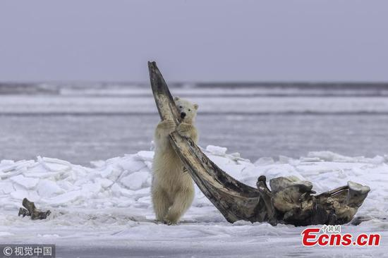 Polar bear cub feasts on bones of a 75-ton whale
