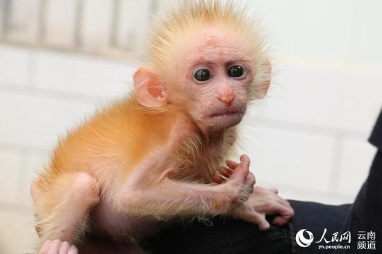 Protected macaque cub saved from trafficker