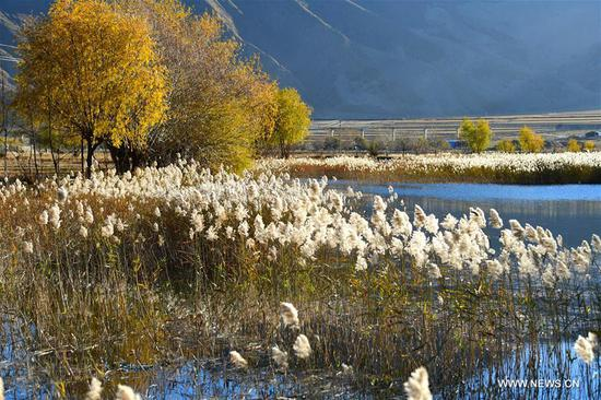 Reed flowers seen in wetland in Tibet