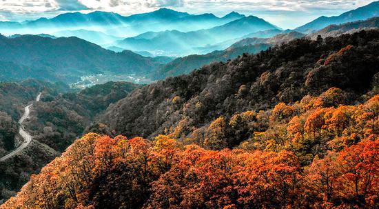 安徽省马宗岭国家级自然保护区的金色秋天