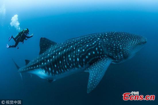 令人难以置信的镜头显示科学家对鲸鲨进行了首次扫描