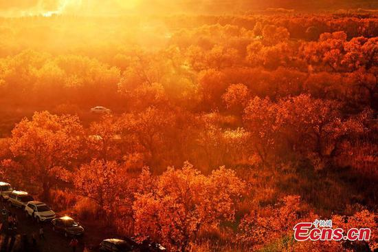 Autumn scenery of populus euphratica forest in Xinjiang