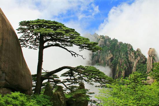 A pine tree on Huangshan Mountain in eastern China's Anhui Province. (File photo/China News Service)
