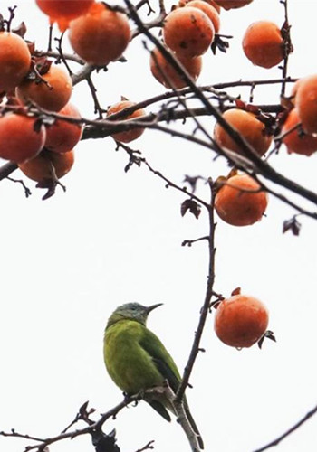 Bird rests on persimmon tree in Guiyang