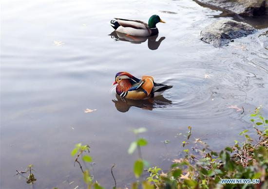 Mandarin duck becomes new star in Central Park