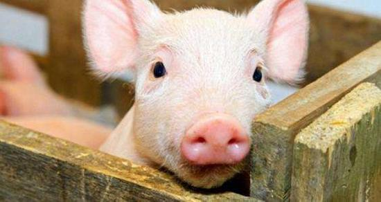 China to monitor pig transport amid spread of swine fever