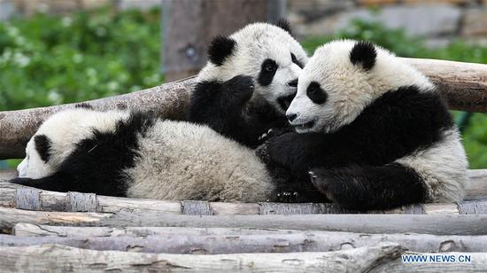 Captive pandas rise to 548 globally