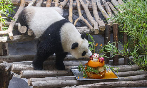 A giant panda twin eats birthday cake in an air-conditioned room at the Nanjing Hongshan Forest Zoo in Nanjing, capital of East China's Jiangsu Province, on August 10. (Photo/Xinhua)