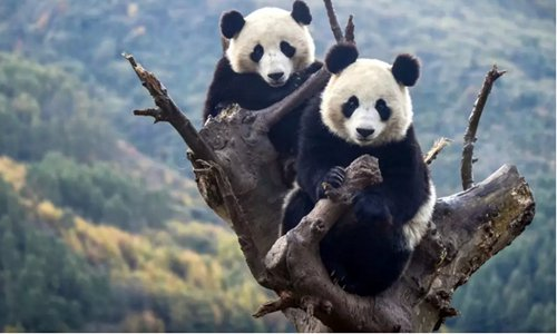 Two capitive pandas strike a cut pose from a tree in their habitat in Southwest China's Sichuan Province. (Photo/Courtesy of the Chengdu Research Base of Giant Panda Breeding)