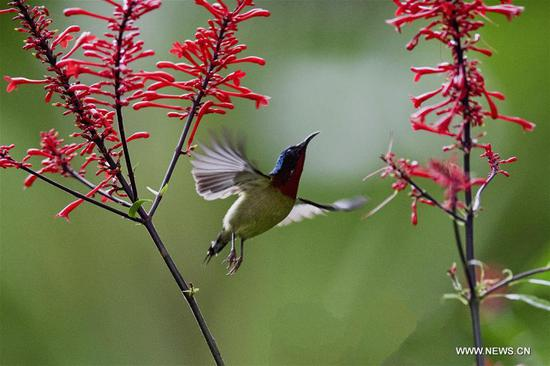 Sunbird gathers honey from flower at Fuzhou National Forest Park