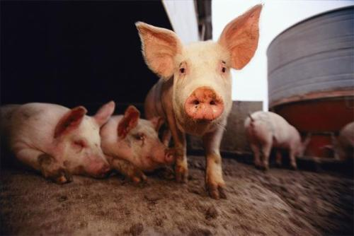 China reports new African swine fever case in Hubei