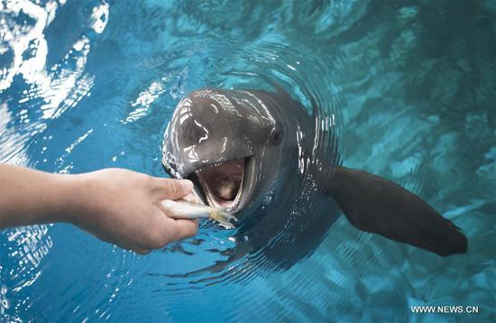 Yangtze finless porpoises seen at central China's aquarium