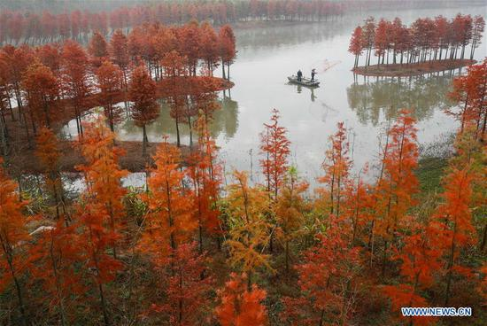 Scenery of redwood forest in Jiangsu