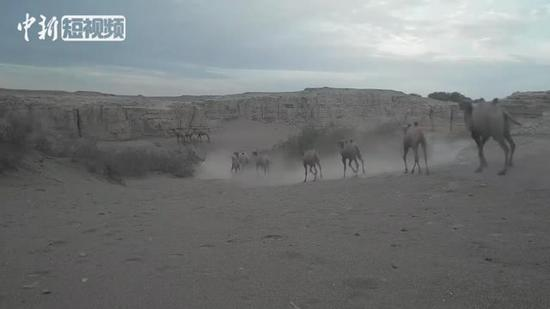 Large flock of camels spotted in Dunhuang