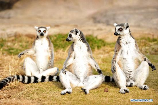 Ring-tailed lemurs sit in early winter sun in Qingdao