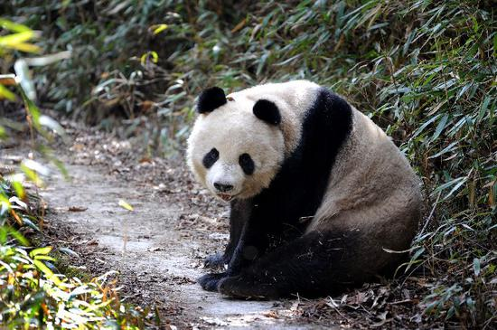 Number of Qinling giant pandas rises