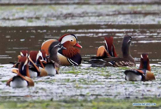 Wild mandarin ducks seen on Xin'an River