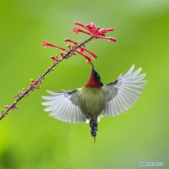 Sunbird gathers honey at Fuzhou National Forest Park
