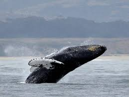 Aussie humpback whales completely renew songs every few years: study