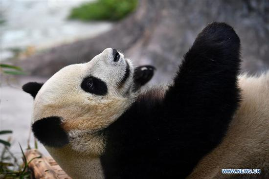 Giant pandas from Sichuan make public debut in Hainan