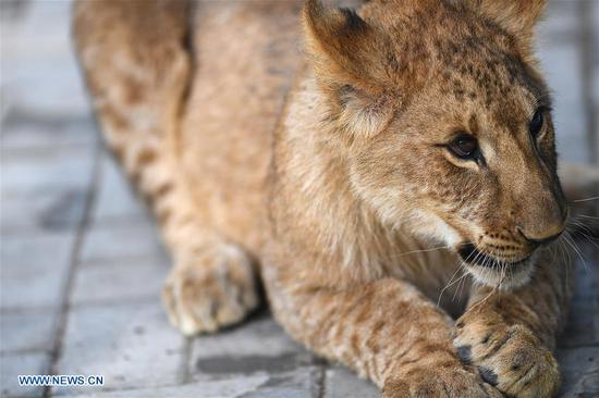 African lion cubs survive extreme environment of Qinghai-Tibet Plateau