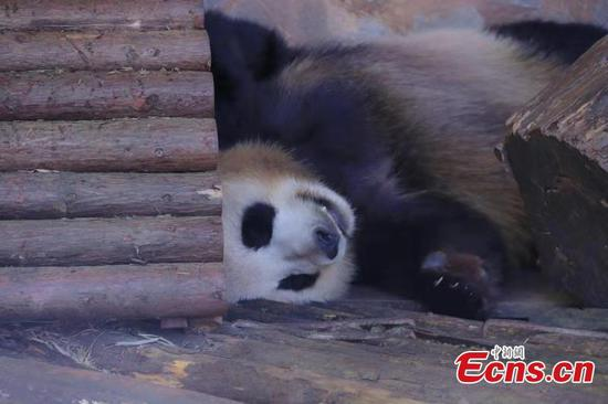Pandas enjoy winter sun bath in Yunnan