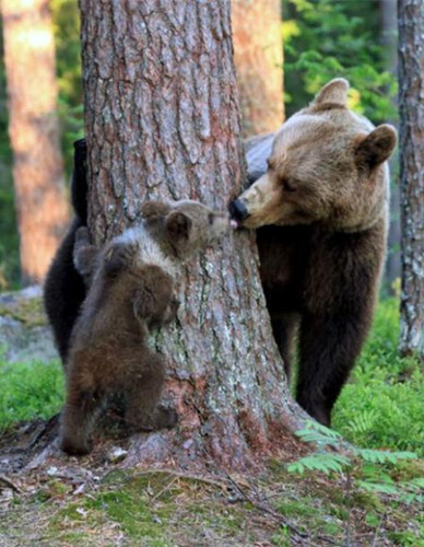 Adorable bears caught playing peek-a-boo