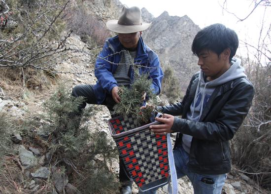 Two Manpas (traditional physicians) pick herbs that can be used for medicinal bathing in the Tibetan autonomous region. (Photo provided by the National Center for the Safeguarding of the Intangible Cultural Heritage in China)