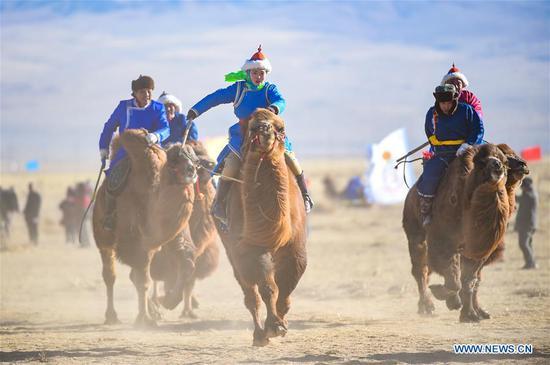 在中国北方的内蒙古举行国际骆驼文化节