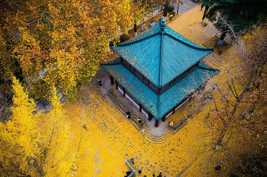 Golden ginkgo leaves illuminate Nanjing