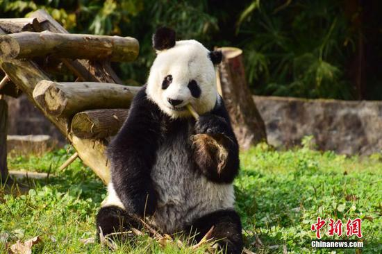 Senior giant panda Gao Gao met the public Monday in his native home of southwest China's Sichuan Province after undergoing a month-long quarantine. (Photo/China News Service)