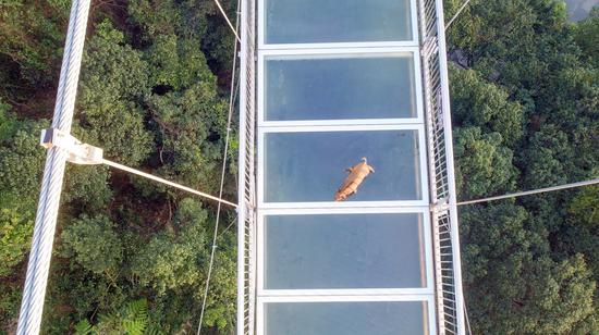 Boar runs onto glass-bottomed bridge, immediately regrets it