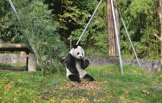 Returned panda meets the public on December 3