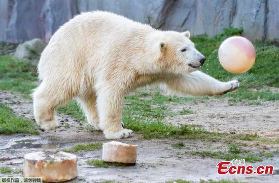 北极熊Nanook在德国动物园庆祝第一个生日
