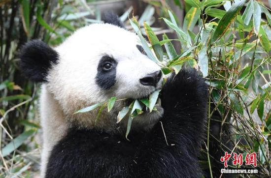 Austrian-born panda twins return to China