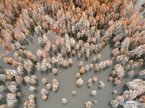 赤山湖国家湿地公园柏树风光