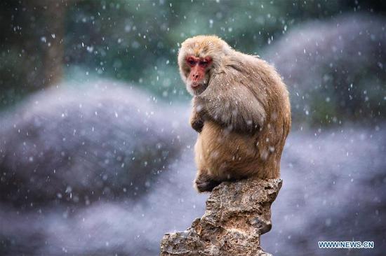猕猴在江苏南京的红山森林动物园玩雪