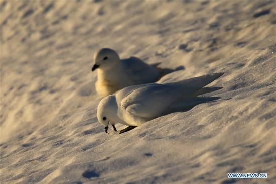 图片:南极中山站附近看到的海燕