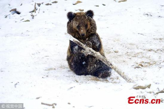 Bear cubs enjoy playing in snow