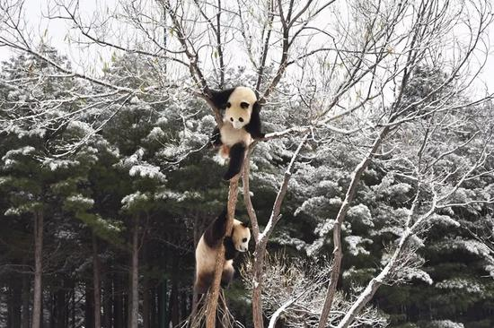 Giant pandas enjoy snow in NE China