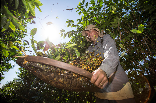 Tea-loving country warms to coffee's call
