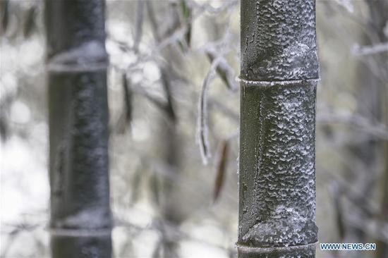 降雪后的竹林风光