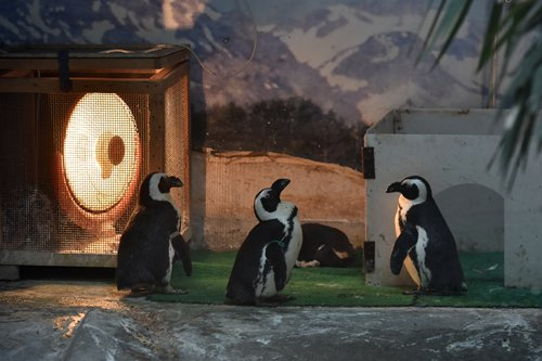 Penguins gather around an electric heater at the Chengdu Zoo in Southwest China's Sichuan Province.  (Screenshot photo)