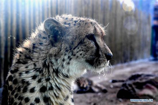 郑州动物园欢迎来自南非的五对猎豹