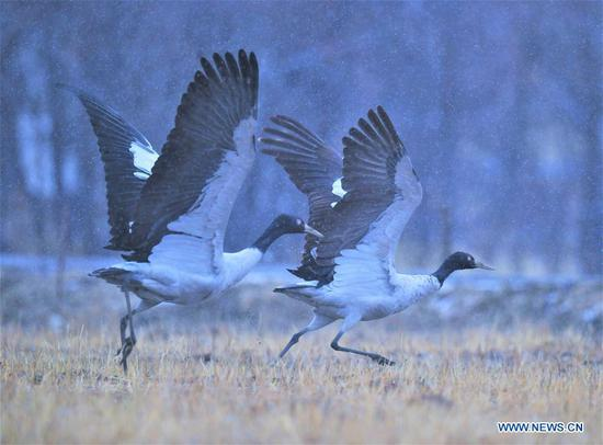 Black-necked cranes in Lhasa, Tibet