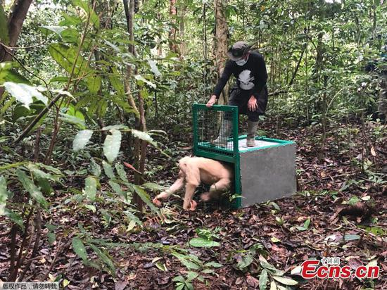 Alba the albino orangutan released into wild in Indonesia