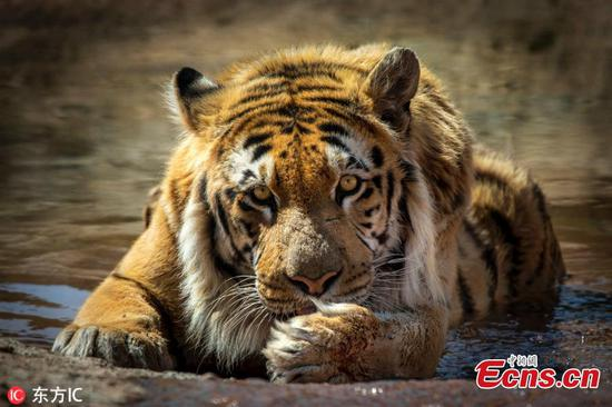 Rescued tiger Laziz now in good health in South Africa