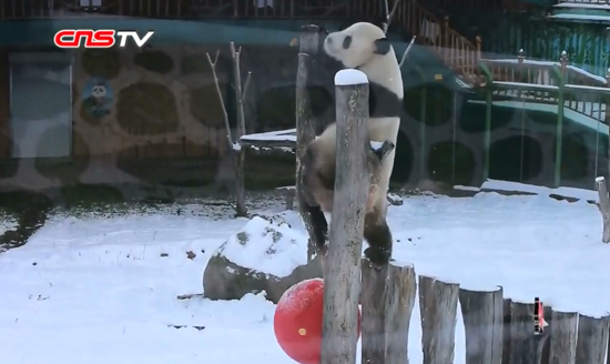 Giant pandas 'addicted' to snow at northeast ski resort