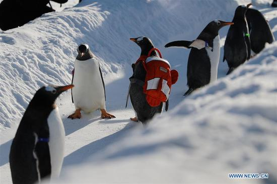 Penguins enjoy outdoor play in Harbin